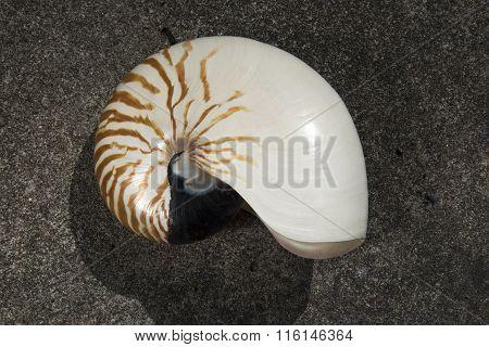 nautilus pompilius shell on white background