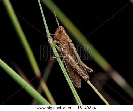single grasshopper on a blade of grass
