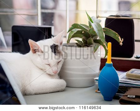 White Cat Sleep on Office Desk