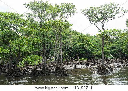 Mangrove Forest of Nakama River