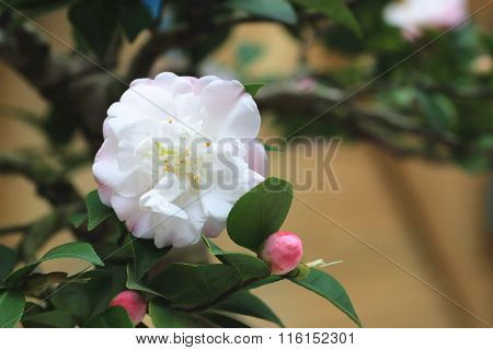 White with pink Camellia flower