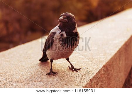 Crow in a park, closeup