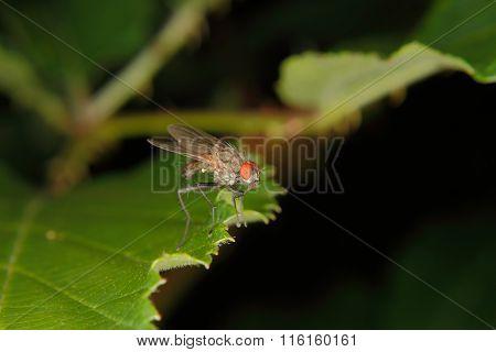 Blowfly (calliphora)