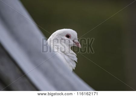 White release dove perched on a roof