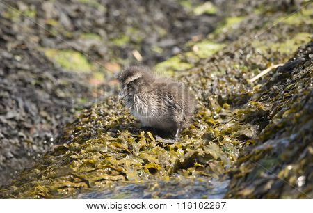 Eider duck juvenile sitting on a seaweed covered rock