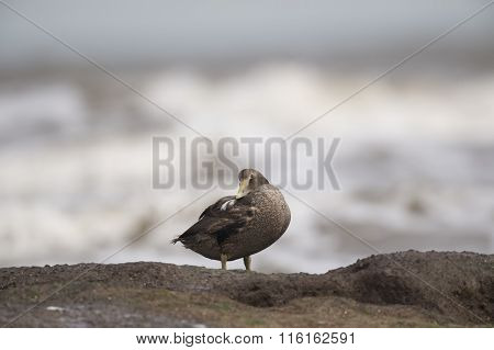 Eider duck on a rock in front of the sea preening itself