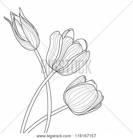 Beautiful Tulip Flowers Line Illustration. Vector Abstract Black And White Floral Background
