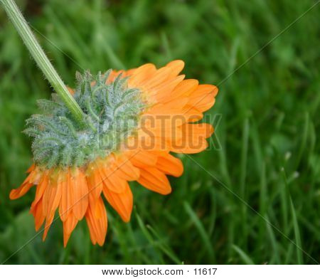 Wilted Orange Flower