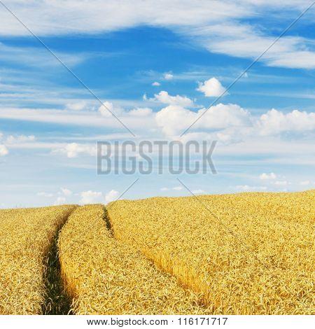 Wheat field on a beautiful day