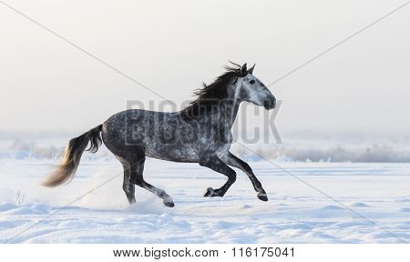 Grey Spanish horse galloping on meadow in fresh snow