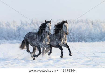 Two runnig grey Purebred Spanish horses