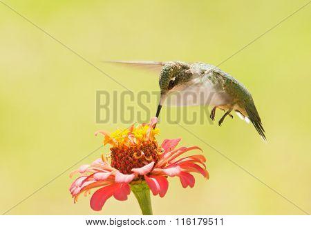 Ruby-throated Hummingbird feeding on a Zinnia flower against bright green summer background
