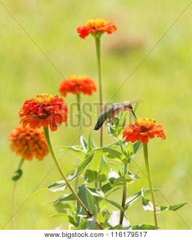 Zinnia flowers in a sunny summer garden with a Hummingbird feeding on one of them