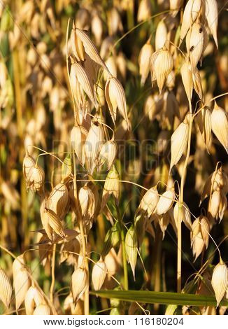 Background ripe oats autumn.