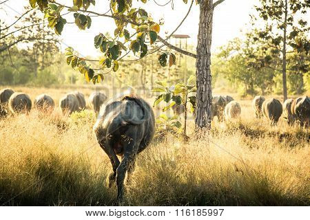 Thai Buffalo, Life' Machine Of Farmer.