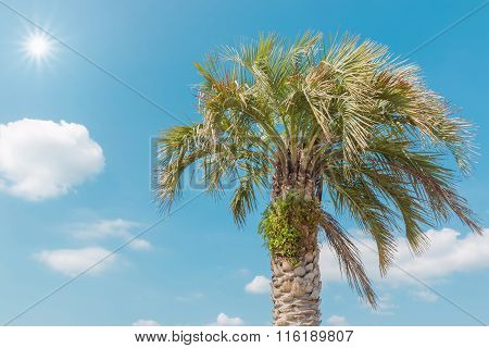 Single Palm In Daylight Against Blue Sky.