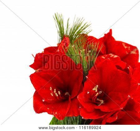 Amaryllis Blossoms. Christmas Flowers Bouquet On White