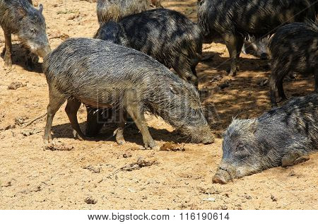 Wild Pigs In The Jungle