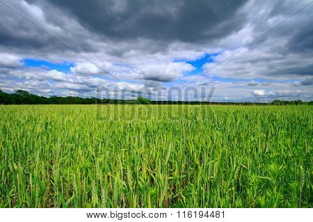 Wheat Field In The Midwest