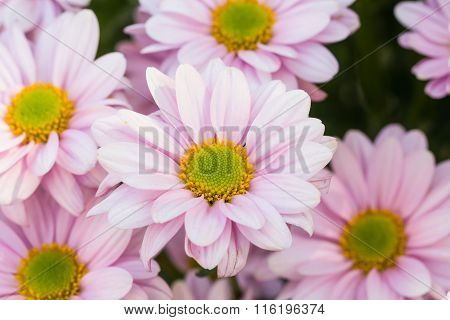 Selective Focus Of Colorful Chrysanthemum Flowers With Water Spray ,selective Focus