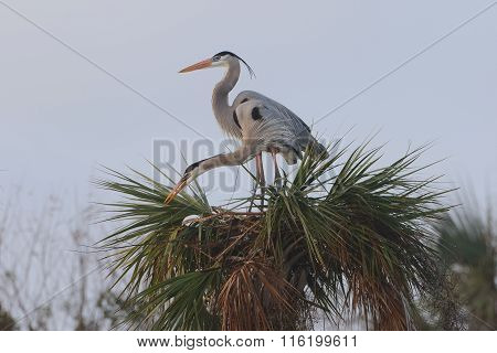 Great Blue Herons Building A Nest