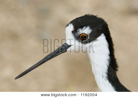 Blacknecked Stilt