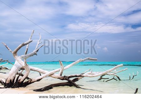 Old withered tree lays on the ocean beach