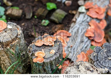 Poisonous Mushrooms On The Wood
