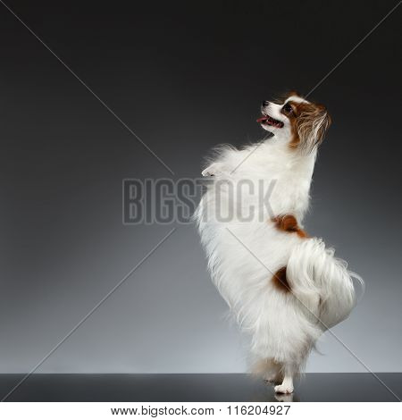 White Papillon Dog Stands On Rear Paws And Raise Up