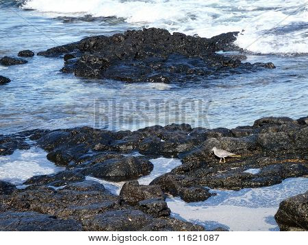 Small Bird Looks For Food In The Lava Rock Tides