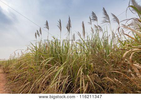 Sugarcane, Burkina Faso