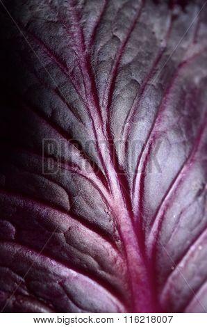 Red Cabbage Leaf