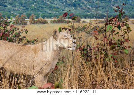 Female Lion Stalking In Grassland