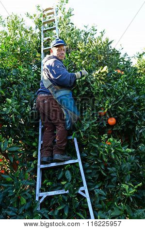 Orange Picker