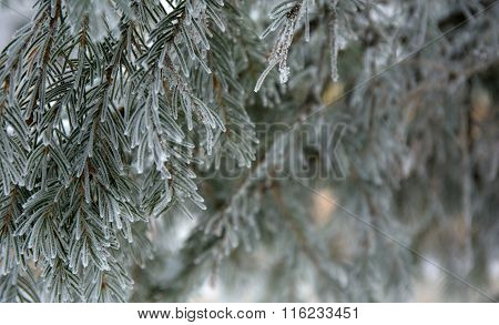 snow-cowered fir branches
