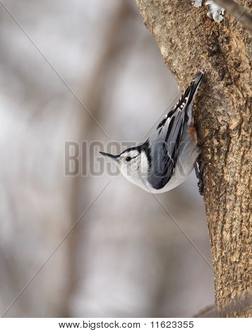 White-breasted Nuthatch, Sitta Carolinensis