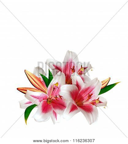 Flower Lily Isolated On White Background.