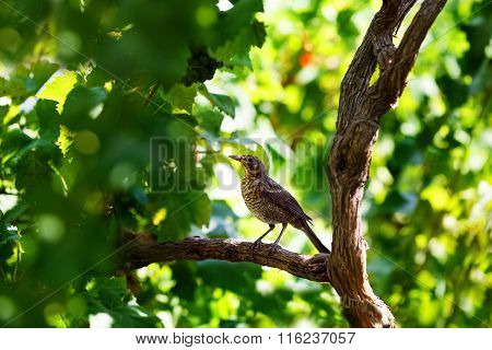 Song Thrush Sitting On Wine Branch