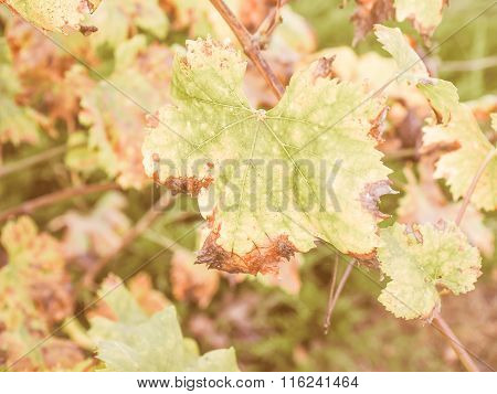 Retro Looking Vitis Plant Leaf