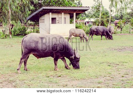 Vintage The Water Buffalo Or Domestic Asian Water Buffalo (bubalus Bubalis)