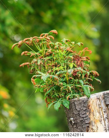 Rebirth Of The Chestnut Tree