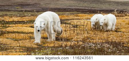 Polar Bear Mom And Twins on colorful ground