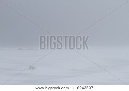 Polar Bear walking in a whiteout Snowstorm