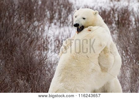 Polar Bears Sparring In Bushes
