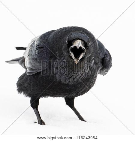 Raven Investigation