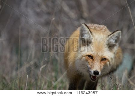 Red Fox Trotting Approaching