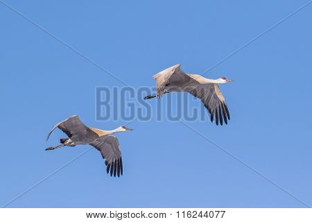 Sandhill Cranes Flying Blue Sky