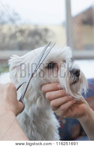 Side View Of Grooming Fringe Of White Dog