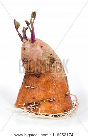 Sweet Potato Germinating