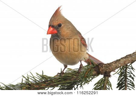 Female Cardinal On White